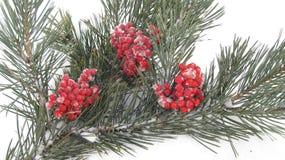 Övervintra bakgrund, röda bär i snön på en grön filial Arkivfoto