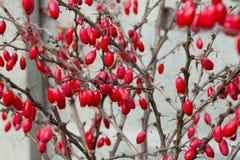 Övervintra canadensisen för för den BerberisThunbergii den också kallade amerikanska barberryen eller berberisen röda bär med vat arkivbilder