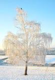 Övervintra dentäckte björken i stark frost med blåttskyen Arkivbilder