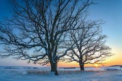 Övervintra fältet och två ekträd på solnedgången Fotografering för Bildbyråer