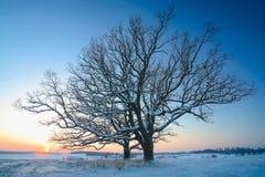 Övervintra fältet och två ekträd på solnedgången Arkivfoton