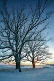 Övervintra fältet och två ekträd på solnedgången Royaltyfri Fotografi