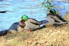 Övervintra fåglar på sjön på en solig dag royaltyfri foto