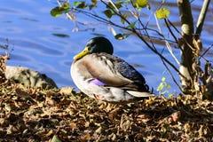 Övervintra fåglar på sjön på en solig dag royaltyfria bilder