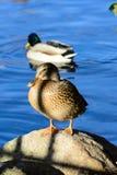 Övervintra fåglar på sjön på en solig dag arkivbild