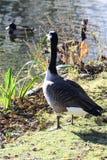 Övervintra fåglar på sjön på en solig dag arkivfoton