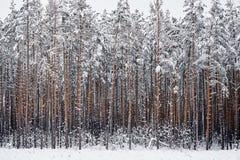 Övervintra felika snöig skogträd i vita ämbetsdräkter Royaltyfria Foton