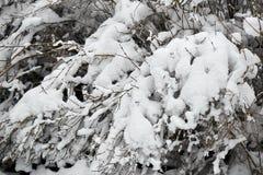 Övervintra felika snöig skogträd i vita ämbetsdräkter Royaltyfri Bild