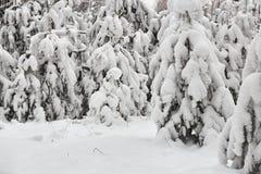 Övervintra felika snöig skogträd i vita ämbetsdräkter Arkivfoton