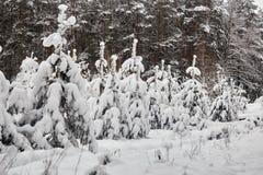 Övervintra felika snöig skogträd i vita ämbetsdräkter Arkivbilder