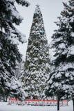 Övervintra felika snöig skogträd i vita ämbetsdräkter Royaltyfri Fotografi