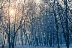 Övervintra grafiskt skogen och solskenen till och med filialerna av träd royaltyfri bild