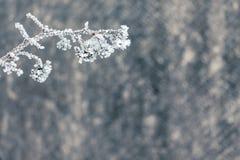 Övervintra hallonfilialen som täckas med rimfrost, det högra fria havet royaltyfri foto