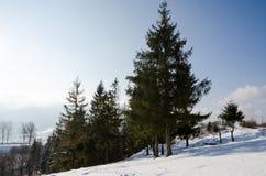 Övervintra landskapet, det grön gran beskyddade formatet, julgran Royaltyfri Foto