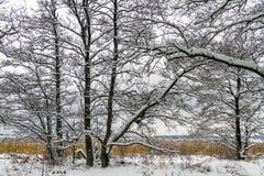 Övervintra landskapet med snö, alträd och den gemensamma vassen i Norge, Fredrikstad Arkivbilder
