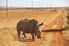 Övervintra landskapfotoet av en vit noshörning på en rödaktig grusväg Arkivbild