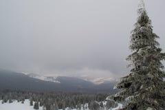Övervintra landskapgranar och buskar i snön arkivbilder