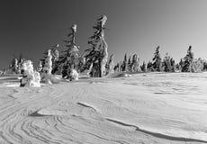 Övervintra ligganden av snowspökar - Harghita madaras Royaltyfria Foton