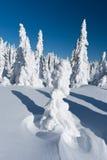 Övervintra ligganden av snowspökar - Harghita madaras Arkivbild