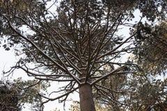 Övervintra pinjeskogen, trädfilialer i snö, blast av träden Royaltyfri Bild