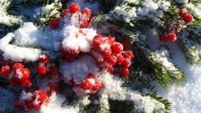 Övervintra sammansättning av röda bär och göra grön filialen i snön Arkivbilder