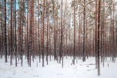 Övervintra skogen med sörjer träd mycket av snö Fotografering för Bildbyråer