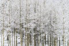 Övervintra snö som faller på asp- träd i den san isabel nationalskogen Arkivfoton