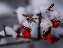 Övervintra snö täckte buskebär för röd brand i midwinter arkivfoton