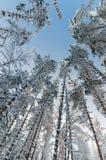 Övervintra snö täckte träd mot den blåa himlen Arkivbilder