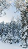 Övervintra snö täckte träd mot den blåa himlen Arkivfoton
