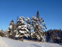 Övervintra snöskogen med granträd och sörjer royaltyfri bild