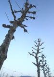Övervintra treen inga tjänstledighetar med blåttskyen Royaltyfri Fotografi