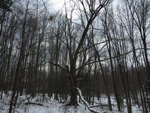 Övervintrar skogen Arkivfoto