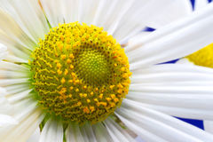 Övre abstrakt bakgrund för blommakamomillslut arkivfoton