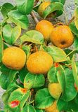 Övre bild för slut av det kinesiska päronträdet Royaltyfria Foton
