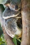 Övre bild för slut av en koala arkivbild