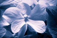 Övre blå vanlig hortensiablomma för slut Arkivbild