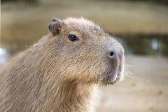 Övre detalj för slut av capybaraen Royaltyfri Fotografi