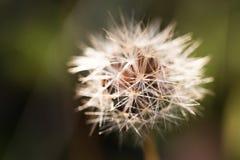 Övre detalj för slut av frö av en blomma och en natur Royaltyfri Fotografi