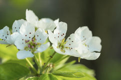 övre för fält för djup för äppleblomningclose grunt Arkivfoton