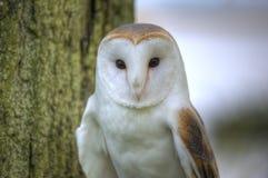 övre för tät owl för detalj för ladugård superb älskvärd royaltyfria foton