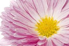 övre för tät tusensköna för chrysanthemum guld- Royaltyfria Bilder