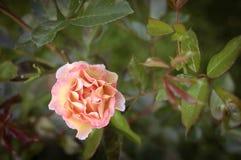 övre för täta blommor för skönhet naturligt rosa rose Royaltyfri Fotografi