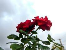 övre för täta blommor för skönhet naturligt rosa rose Arkivfoton