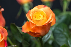 övre för täta blommor för skönhet naturligt rosa rose Fotografering för Bildbyråer