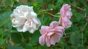 övre för täta blommor för skönhet naturligt rosa rose Royaltyfri Bild
