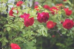 övre för täta blommor för skönhet naturligt rosa rose royaltyfri foto