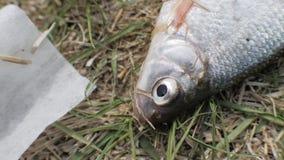 Övre fisk för slut som ligger på gräs och andas munnen Vatten och ekologiförorening arkivfilmer