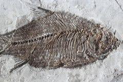 Övre fiskfossil för slut i sten Royaltyfri Foto
