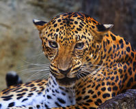 Övre framsida för slut av den ilskna leoparden royaltyfria bilder